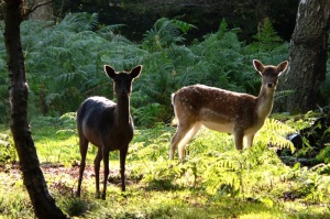 Deer ashridge